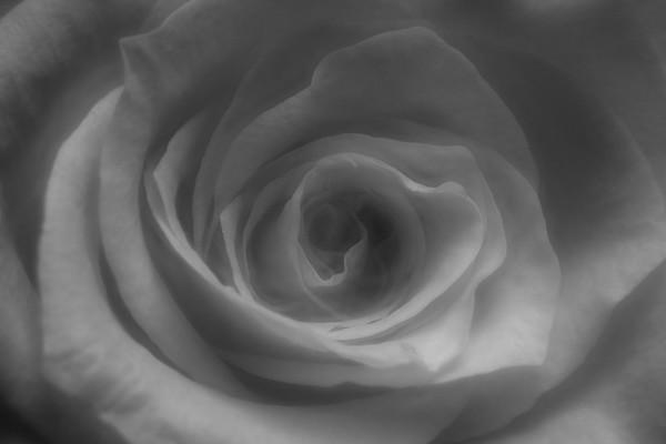 20 (365) Rose