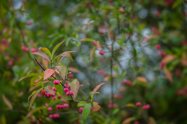 Many - Spindle tree berries