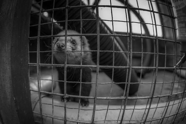 Turbo the ferret