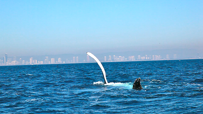 """""""Dorsal Flop"""" - Behind the scenes of the humpback whale Crittercam deployment mission with www.hhr.org.au and Ecoforce Ops.  Gold Coast, Australia.  Photo by: Tristan Bayer"""