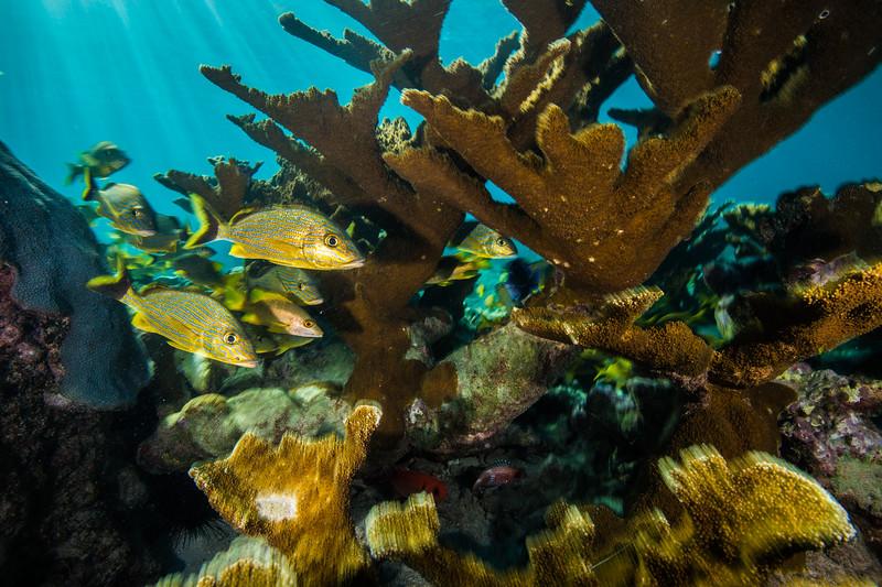 Schools of bluestriped grunts (Haemulon sciurus) and schoolmaster snappers (Lutjanus apodus) fill the space between broad branches of elkhorn coral (Acropora palmata)