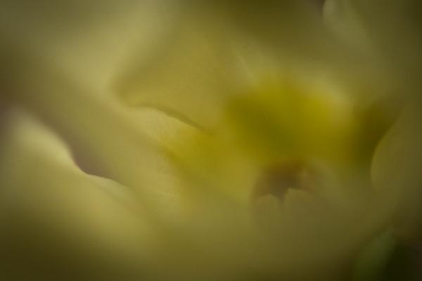 Close up - Primrose