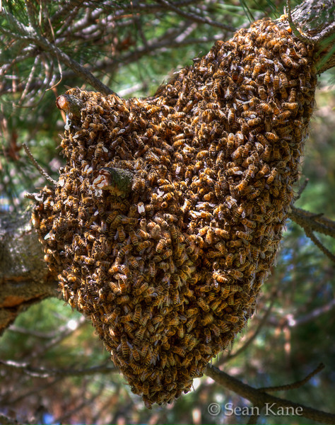 Bee Cluster<br /> <br /> While doing a photo walk today, I noticed a large something hanging from a tree.  Upon closer inspection, it turned out to be hundreds of bees.  Perhaps a thousand or more?  I probably got about 10 or 15 feet away to take this shot (and a few others).  I was a bit nervous to get much closer.  At first I thought this was a hive, but when I returned later in the day to get more shots, all of the bees were gone.  In reading on this, it looks like the hive had split and this group was looking for a new home.<br /> <br /> The close-up detail (while not super-sharp) gives a good perspective on just how crazy the cluster was.<br /> <br /> This shot is a single-shot HDR to bring out the details in the cluster.  This was taken around noon so the lighting was horrible.<br /> <br /> --- Thanks all for the comments!  Yes, this was probably a lapse of reason, but I feel comfortable around bees for the most part.  @christopher, interesting to know about the single-mindedness.<br /> <br /> #ds153 - Break a rule today! Centered composition is generally considered boring and taboo, but can be interesting. Try it!