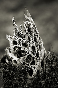 Broken cholla bush skeleton