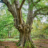 Trees upon a Tree, Twisted Beech, Pauls Nursery
