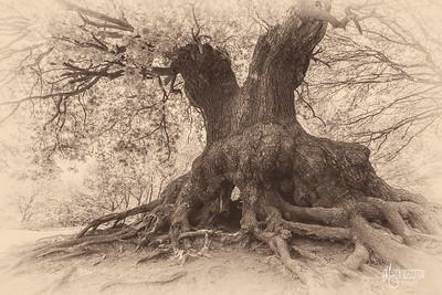 S21 Oak, Barn Hoppitt