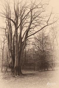 S14 Beech Tree, Flagstaff Hill