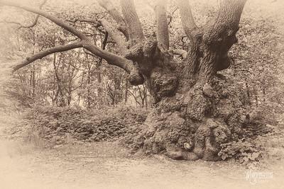 S4 Oak at High Beech