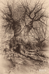 S12 Oak at Barn Hoppitt