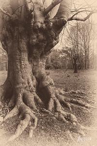 S13 Beech Tree, Flagstaff Hill