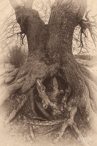S9 Oak at Barn Hoppitt