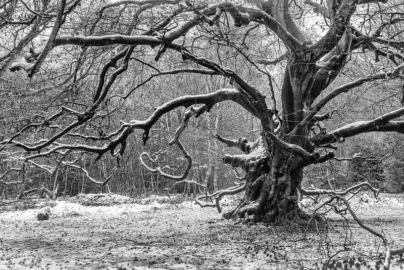 B20 Ancient Beech in Winter