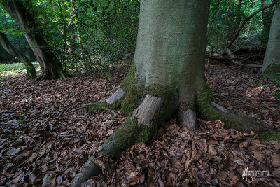 Removal of bark by squirrel and deer can kill a hundred year old beech tree