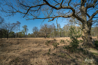 Wood pasture restoration in Epping Forest