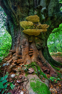 Ancient Beech & its Fungi