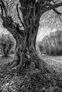 BW11 Split Hornbeam at Warren Hill