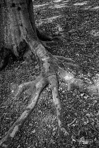 BW19 Beech Root at St Thomas's Quarters