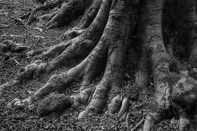 BW20 Beech Feet at St Thomas's Quarters