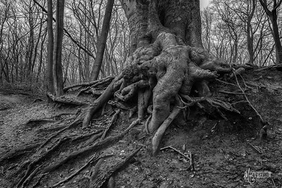 BW4 Beech Bank at Loughton Camp