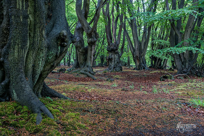 C7 Beech Landscape, Dulsmead Hollow