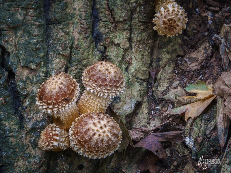B3 Fungi on Ash Tree