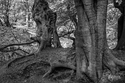 BW15 Beech Trees Near Jacks Hill