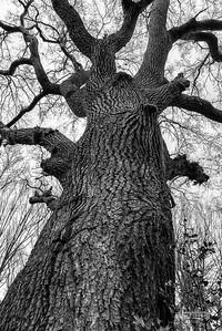 BW5 Oak in the Wilderness