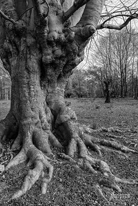 BW7 Gnarly Beech Feet at Flagstaff Hill