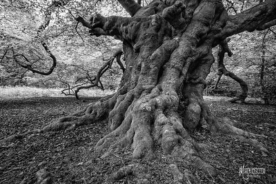 BW23 Ancient Beech Near Flagstaff Hill