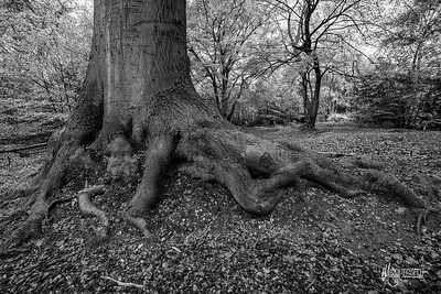 BW14 Beech Roots at Jacks Hill