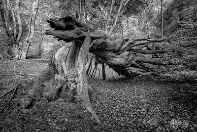 BW18 Splintered in Epping Forest