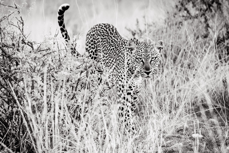 Leopard approaching in the grass, in Samburu, Kenya