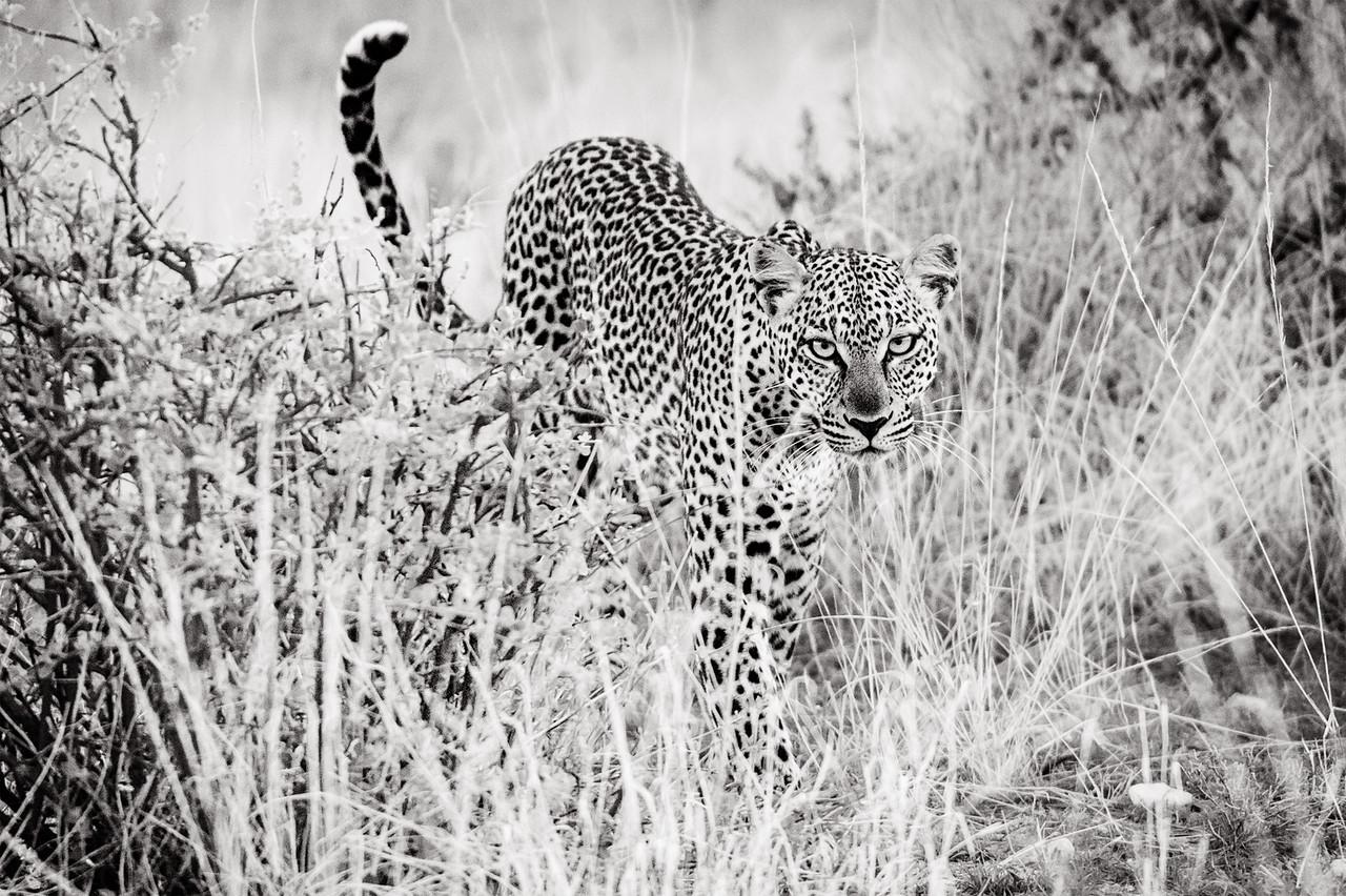 Leopard approaching in the grass, in Samburu, Kenya