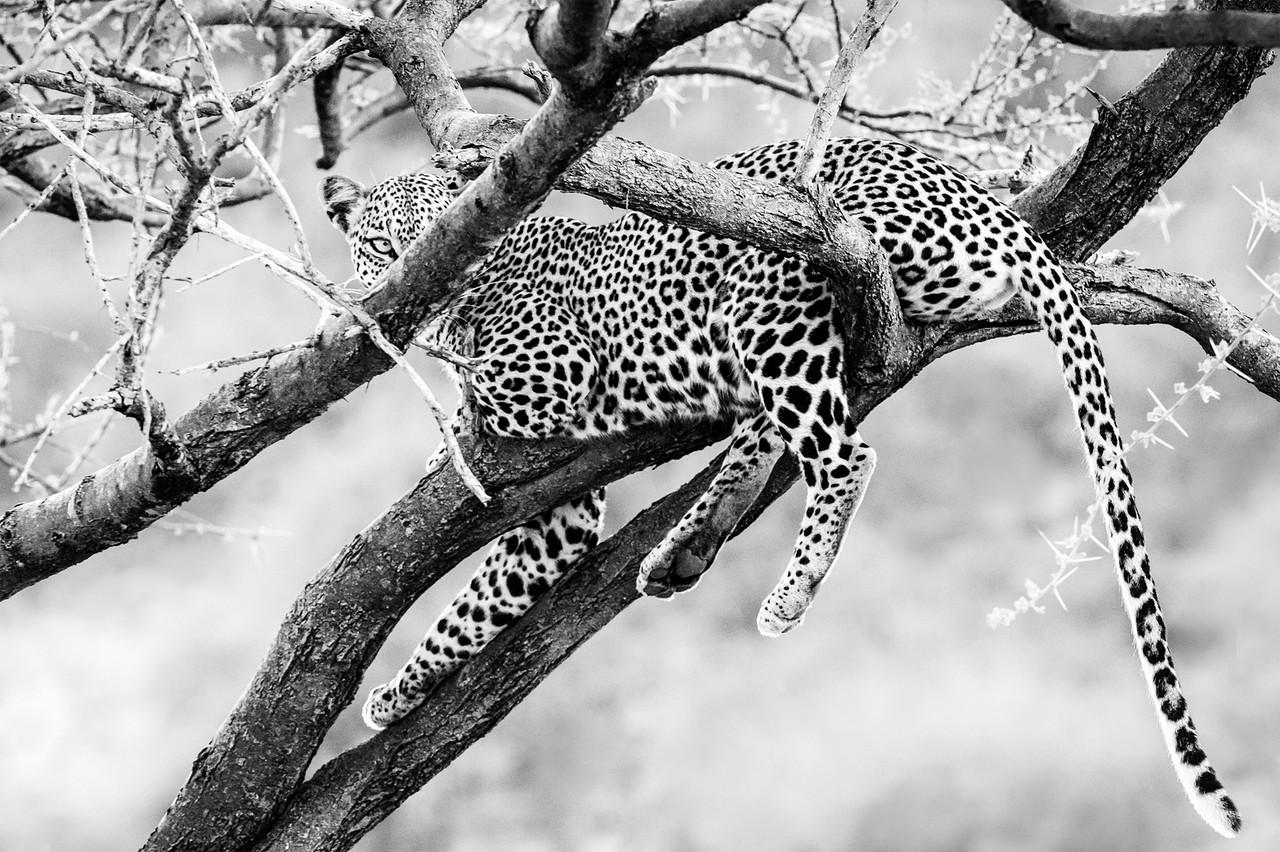 Leopard in Samburu, Kenya