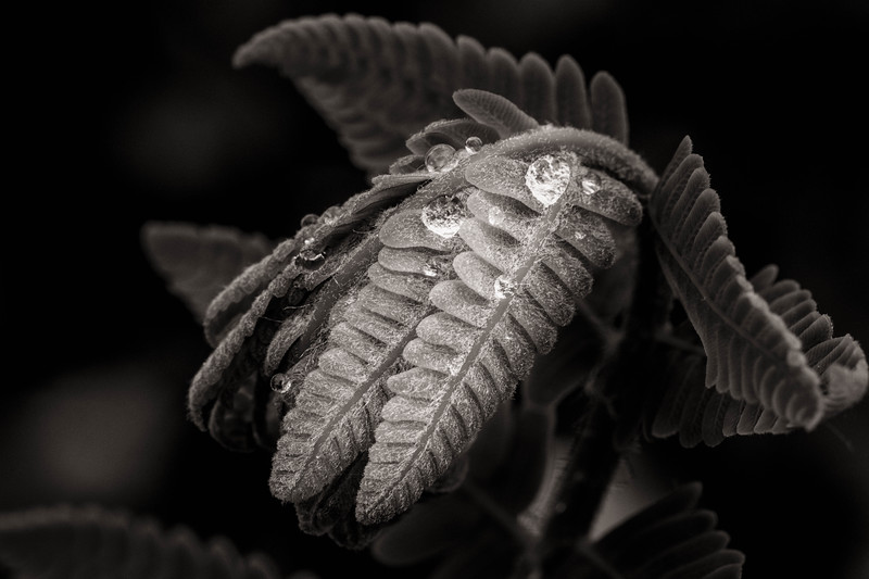 Emergent Fern in Rain