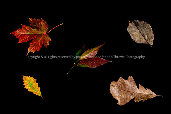 Five Autumn Leaves