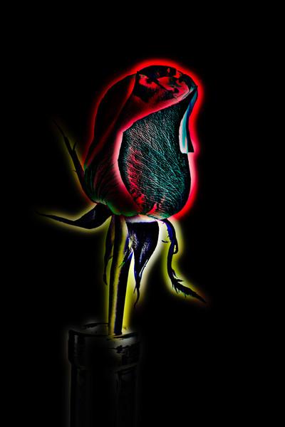 Polarized Rose