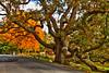 Womping Oak