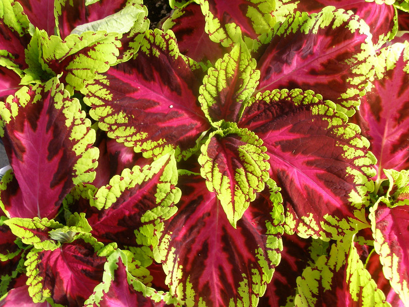 "thegardencentregroup.co.uk<br /> <br /> Coleus-Kong Rose<br /> <br /> Description: Kong Coleus has huge leaves that are worthy of the name Kong. Grown for its outstanding foliage colors, Kong Coleus will add a touch of the jungle to your flower beds or containers. Kong also makes a nice indoor plant.<br /> Spacing: Plant 10″ to 14″ apart<br /> Height: Grows 18"" to 24"" tall.<br /> How To Grow: Plant in part sun to full shade<br /> Outstanding Features: Kong Coleus leaves can be up to 9″ wide.<br /> Tips: For more vibrant color patterns, plant in shaded areas.<br /> Uses: Garden Bed, Containers, Landscapes, Indoor Plant"