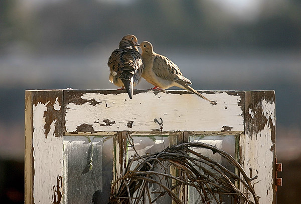 Mourning doves courting on a door in our yard that leads to nowhere.