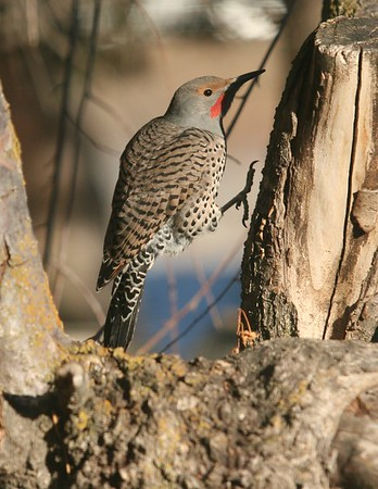A northern flicker jumps along a weeping cherry tree in our backyard searching for bugs.