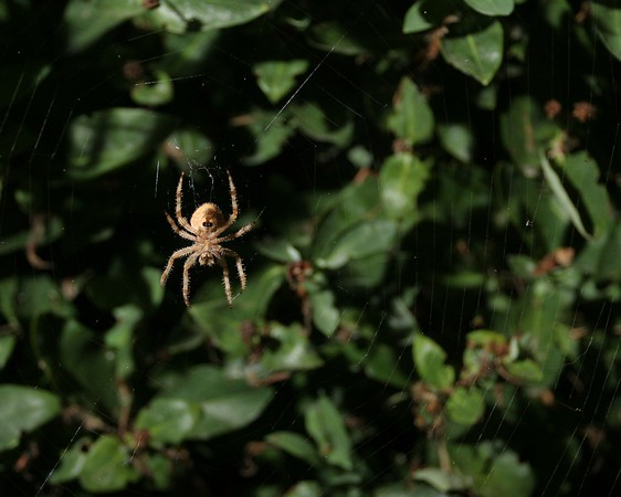 The orb spider hanging out.