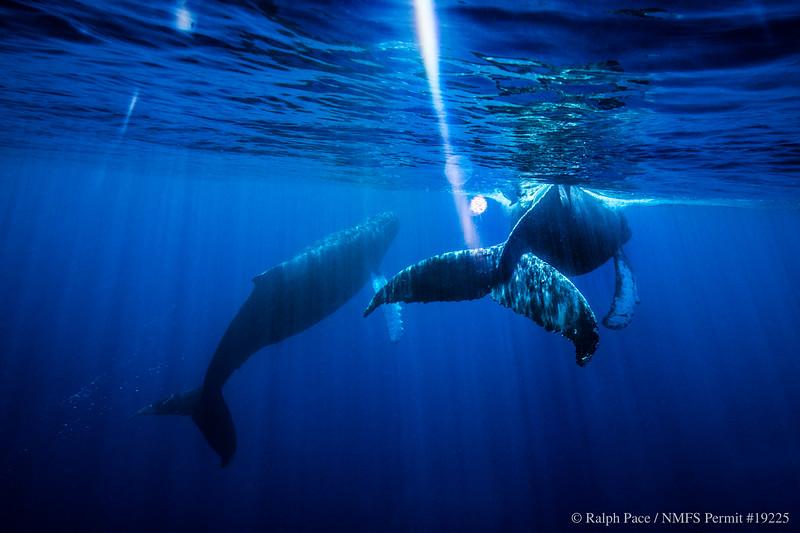 A pair of humpback whales (Megaptera novaeangliae) swim off Maui, Hawaii. Image taken under NMFS Permit # 19225