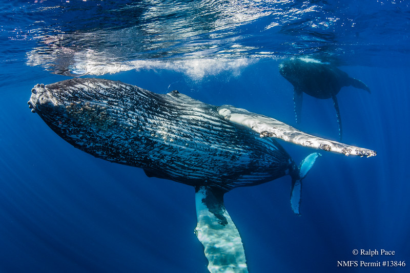 A female humpback (Megaptera novaeangliae) and primary escort after an active group off Maui, Hawaii. Image taken under NMFS permit # 13846