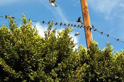 ConfluencePark009-BirdsOnWireAndTree-2006-10-04.jpg