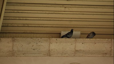 MariachiPlaza010-PigeonsInStage-06-10-18.jpg
