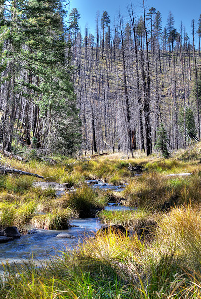 Burn and regrowth, East Fork Black River above Three Forks Crossing, Apache National Forest, AZ (Oct 2011, HDR)