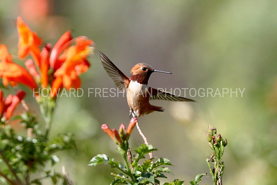 Hummingbirds of Southern California