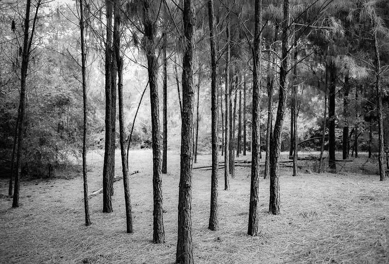 Southern Pine