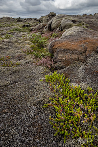 Plants growing on Lava Fields, Medalland, Iceland